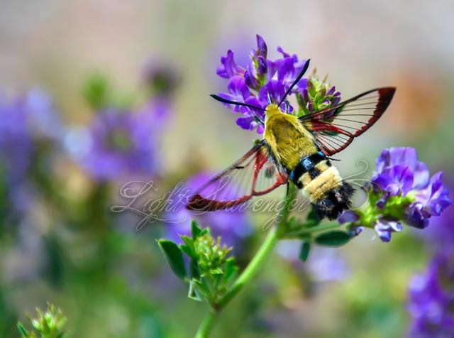 Hummingbird Moth with Transparent Wings