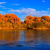 Cottonwoods Along the Rio Grande