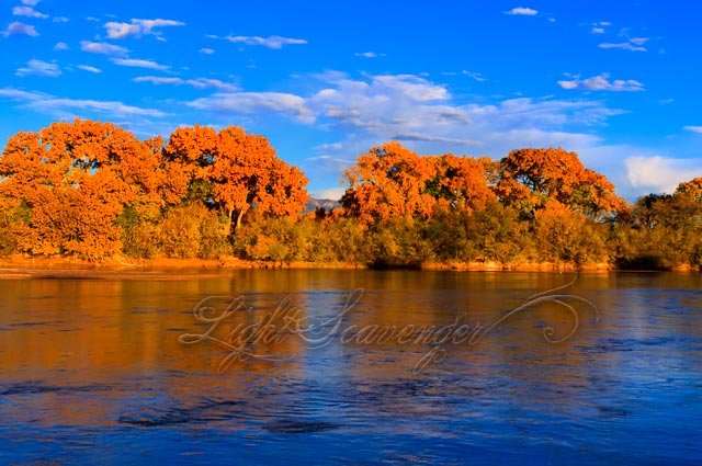 Cottonwoods in Fall Along the Rio Grande