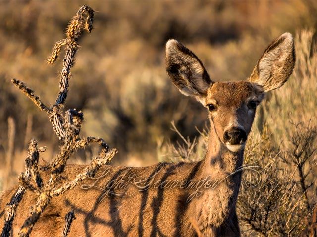 Mule Deer and Cholla