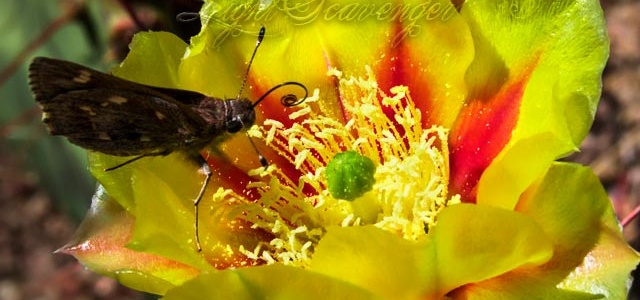 Prickly Pear Blossom with Butterfly