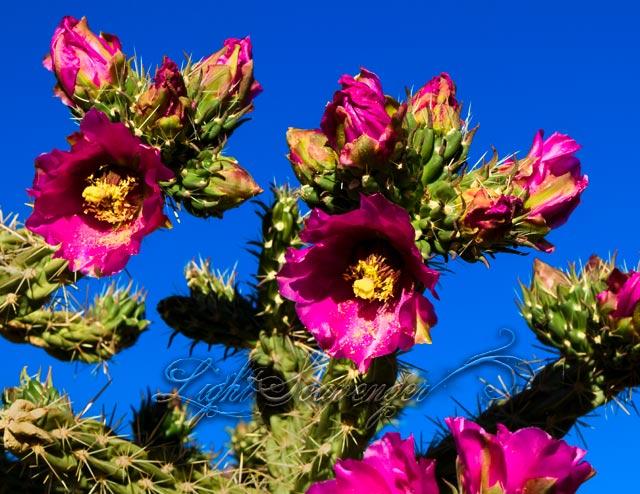 Cholla Blossoms