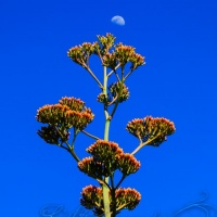 Century Plant and Moon