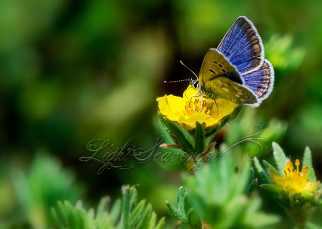A Boisduval's Blue butterfly (I think)