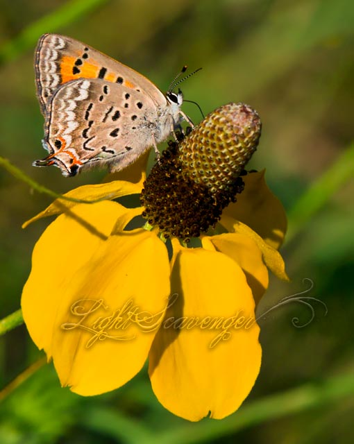 Tailed Copper on Mexican Hat