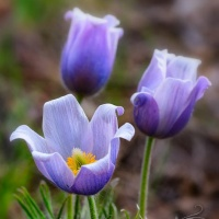 Passover/Easter Pasqueflowers