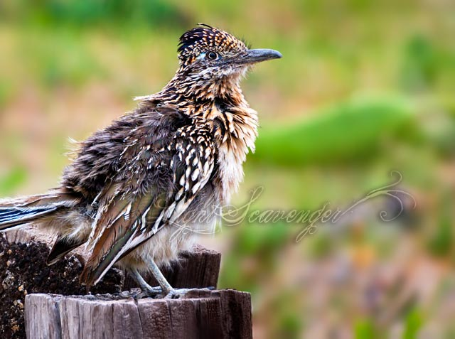 roadrunner with ruffled feathers