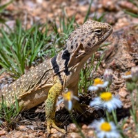 Female Collared Lizard