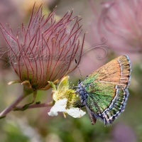 Sandia Hairstreak on Apache Plume
