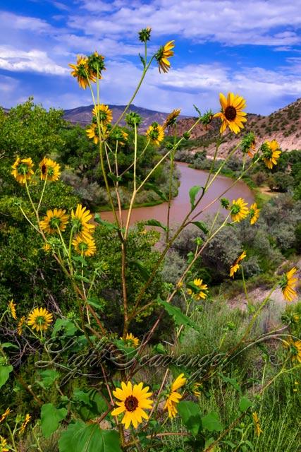 Rio Chama and Sunflowers