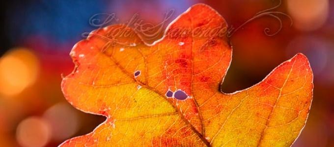 Scrub Oak Leaf in Fall