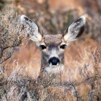 Mule Deer Mama