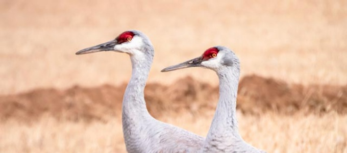 A nearly identical pair of sandhill cranes, looking in the same direction