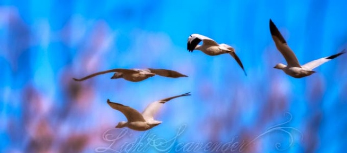 Snow Geese Flying North