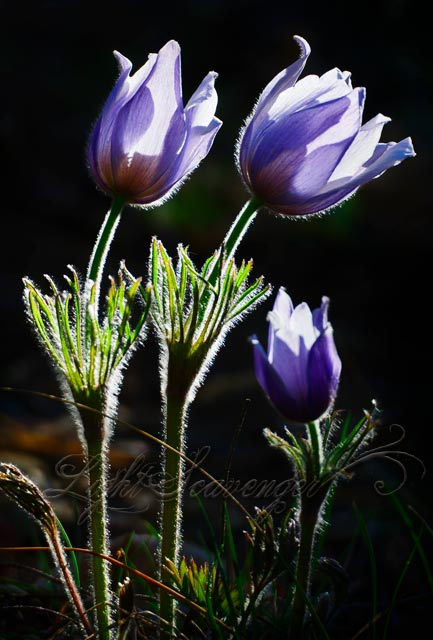 Pasqueflowers