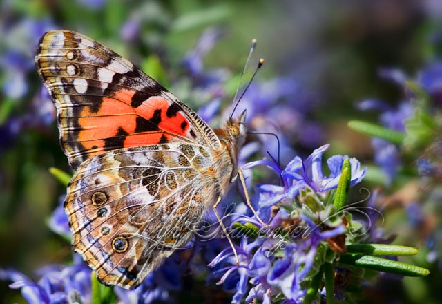 Painted Lady Butterfly on Rosemary