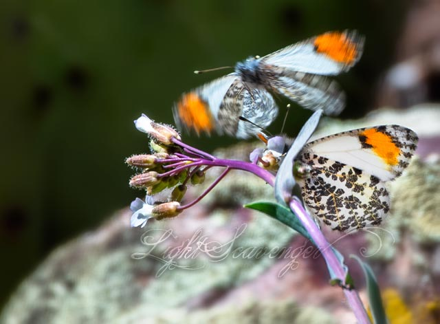 Sara Orange-Tip Butterflies