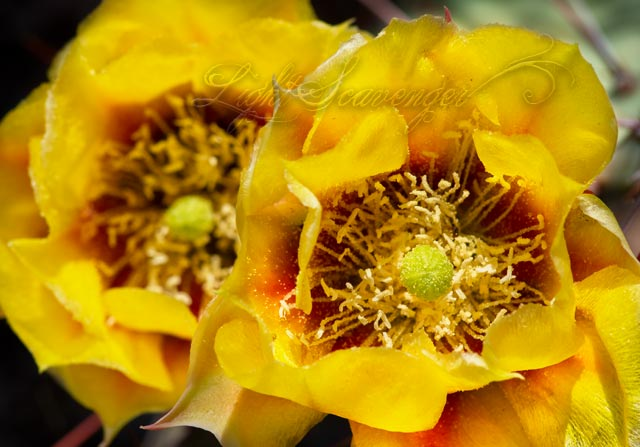 Prickly Pear Twin Blossoms