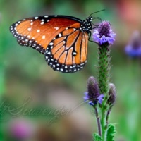 Queen Butterfly on Spike Verbena