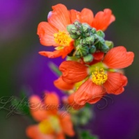 Globemallow Flowers and Buds