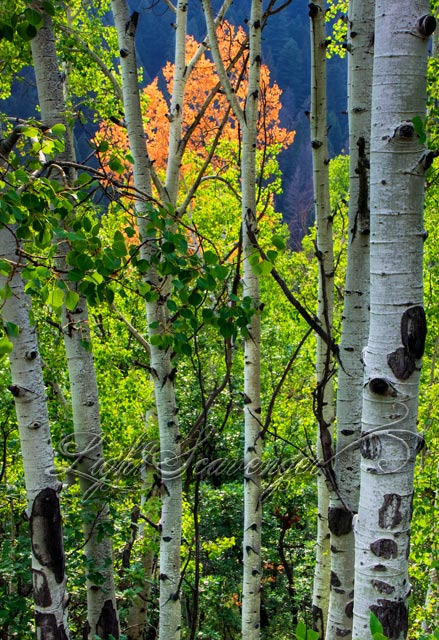 Holy Ghost Aspens