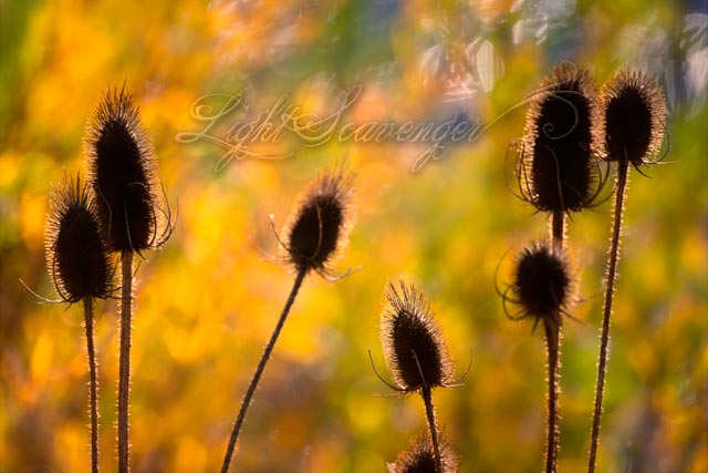 Dried Teasels in Autumn