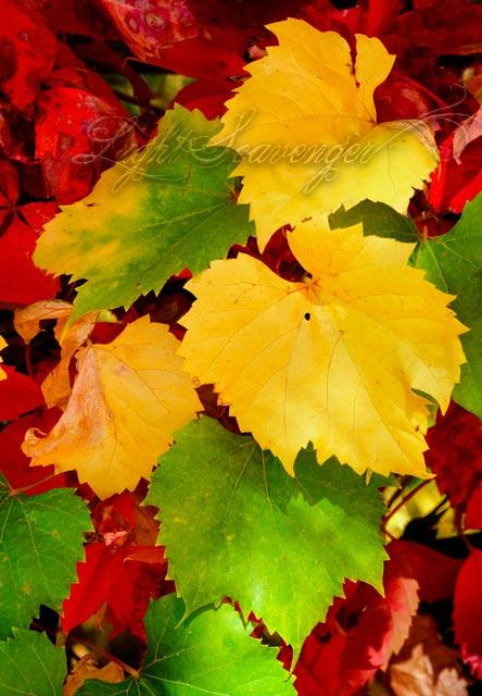 Grape Leaves and Virginia Creeper, Fall Edition