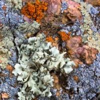 Multi-Colored Lichens