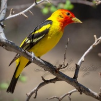 Western Tanager in Spring