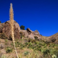 Sotol in the Organ Mountains