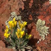 Bladderpod and Lichen