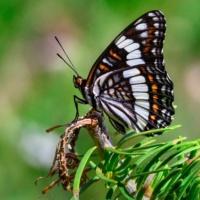 Wiedemeyer's Admiral Butterfly