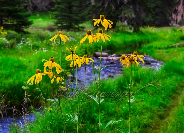 Coneflowers along the East Fork of the Jemez