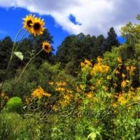 Sandia Meadow with Wildflowers