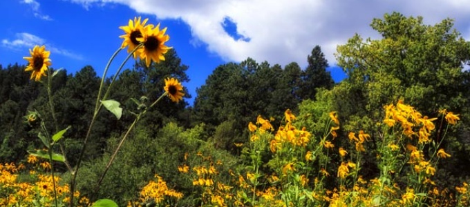 Meadow filled with sunflowers and coneflowers