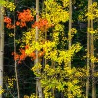 Sandia Aspens in Fall